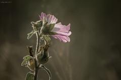 Summer Beauty (oskaybatur) Tags: trakya saray 2018 summer august pink nature wildflower pentaxkr justpentax pentaxart türkiye turkey alcearosea gülhatmi smcpentaxdal55300mmf458ed dof bokeh kırçiçeği