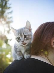 20161002_6764c (Fantasyfan.) Tags: european kitten breed fantasyfanin kuunkissan