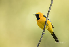 Orange Beauty (Rick Derevan) Tags: bird hoodedoriole oriole icteruscucullatus california