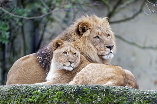 Young lioness with dad