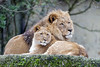 Young lioness with dad (Tambako the Jaguar) Tags: lion african big wild cat young female male father together love posing portrait rock stone lying basel zoo zolli switzerland nikon d5