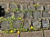 #wildflower #Löwenzahn (RenateEurope) Tags: wildflower löwenzahn