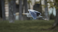 BiF (1/2) : a heron (Franck Zumella) Tags: bird oiseau flight vol fly flying voler sat vite sky ciel wood tree forest foret bois arbre nature animal bif heron gbh great blue sony a7s a7 tamron 150600
