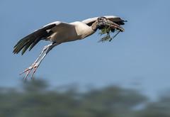 hauling nesting material (marianna_a.) Tags: 8594 woodstork bird huge flying overhead above blue sky mariannaarmata wakodahatchee florida