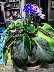 """One's life has value so long as one attributes value to the life of others, by means of love, friendship, and compassion"" ―Simone de Beauvoir 💐 (anokarina) Tags: psmobile colorsplash 🌺 🌼 🌸 appleiphone7 adobephotoshopexpress highlands louisville kentucky ky africanviolet flower plant blossoms blooms flowers red blue green"