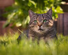I have found a place in the shade (FocusPocus Photography) Tags: sethi katze kater tabby cat chat gato tier animal haustier pet gras grass rasen lawn schatten shade grün green