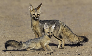 Cape Fox and Pup