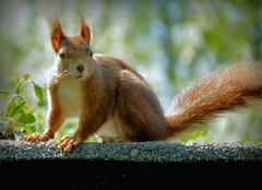 Eichhörnchen (karin_b1966) Tags: tier animal garten garden natur nature 2018 eichhörnchen squirrel