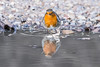 I wonder if I can row this leaf to the other side (Paul Wrights Reserved) Tags: robin robins bird birds birding puddle reflection reflections mirror nature naturephotography wildlife wildanimal wildlifephotography