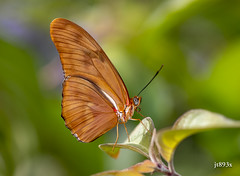 Julia Longwing (jt893x) Tags: 105mm afsvrmicronikkor105mmf28gifed butterfly d810 dryasjulia insect jt893x julia julialongwing longwing macro nikon thesunshinegroup coth alittlebeauty coth5 ngc