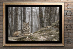 Coyote (passion photos animalières) Tags: coyote mammifères passionphotosanimalières artmural