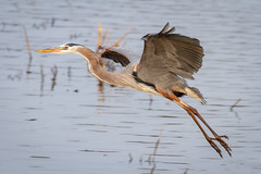 Great Blue Heron (tresed47) Tags: 2018 201804apr 20180412bombayhookbirds april birds bombayhook canon7d content delaware folder greatblueheron heron peterscamera petersphotos places season spring takenby us ngc