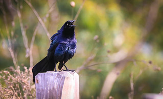 Great-tailed Grackle on a Happy Fence Madrona Marsh sump area Torrance California 174