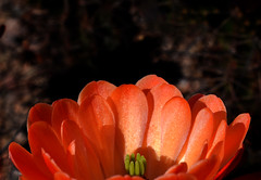 My Cup Runneth Over (oybay©) Tags: cactus flower macro flores flora fiori blumen flowers hedge hog arizona spring sky nature natural color colors naturesfinest plant outdoor cactusflower bright colorful upclose spring2018