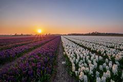 Geur en kleur in Noordwijkerhout (nldazuu.com) Tags: goudenuur spring natuur zonsondergang sunset lente goldenhour noordwijkerhout bollenvelden zuidholland hyacinten voorjaar bollenstreek avondkleuren
