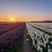 Geur en kleur in Noordwijkerhout