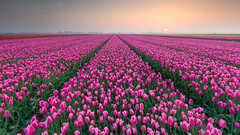 Tulip Seasons 2018 (Wim Boon Fotografie) Tags: wimboon tulips holland nederland netherlands tulp leefilternd09softgrad leefilternd06hardgrad canoneos5dmarkiii canonef1635mmf4lisusm