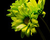 Green Daisy 1102 (Tjerger) Tags: nature flower bloom blooming daisy plant natural flora floral blackbackground portrait beautiful beauty black green fall wisconsin macro closeup