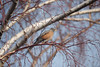 A Fine Place to Perch (jolee-mer) Tags: tree branches twigs curved red bird birch sky patterns robin perching afternoon dof