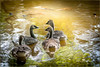 Meeting on the Lake (kelleagle) Tags: geese sunlight swimming foliage young sonya700 rimlight nature