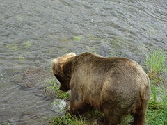 DSC07500 (jrucker94) Tags: alaska katmai katmainationalpark nationalpark bear bears grizzly grizzlybear brooksriver nature outdoors