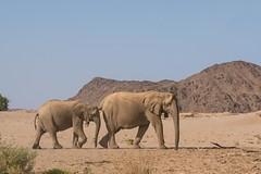 Desert Adapted Elephants (iamfisheye) Tags: 2018 olympus lens namibia namibiantrackstrails hoanibriver zd50200mm mkii zuiko 50200mm exodus july 4wddesertsafari kit zd em1 camera