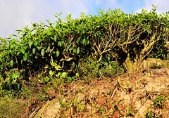 8H1_0365326 (kofatan (SS Tan) Tan Seow Shee) Tags: malaysia pahang cameronhighland copthornehotelsungeipalasbohplantation bharatteaplantation robinsonfall smokehouse brinchang tanahrata kofatan