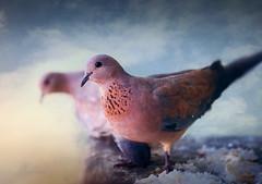 top floor tenants.. (salihseviner) Tags: birds dove animal topfloor