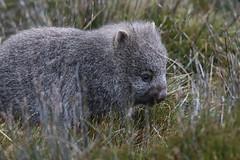 Baby Wombat in the Wild (Raoul's Photos) Tags: nationalpark cradlemountain wildlife australia tasmania wombat