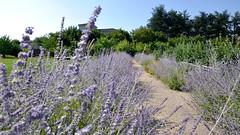 Lavender (petit_filou77) Tags: taluyers summer été fleur flower flowers fleurs lavande lavender sun light