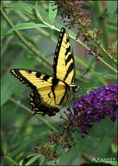 Garden Swallowtail... (angelakanner) Tags: canonsx50 garden longisland butterfly swallowtail cl