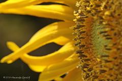 DN7A2304a (maerlyn8) Tags: macro flower flowers flora floral sunflower yellow center pollen nature plants canon 100mm 2018 petals pretty beautiful
