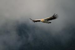 Vulture (Mathijs Buijs) Tags: indian himalaya himalayas yellow vulture mountain mist clouds flying bird flight bif himachal pradesh india asia canon eos 7d