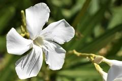 Dans mon jardin (balese13) Tags: laurier fleur test 35mm nikon d5500