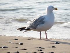 Herring Gull, Lake Michigan (Rque) Tags: gulls herring gull lakemichigan shorebird water bird