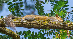 Varmet nap. (Omygodtom) Tags: wildlife squirrel natural nature nikon contrast bokeh branch nikon70300mmvrlens usgs urbunnature dof d7100 digital coth5 7dwf