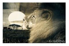 Lions Of Africa (Andrew David Photos) Tags: lion pantheraleo felidae bigcats animals wildlife digitalart composition fineart digitalfineart safari africa photoshop