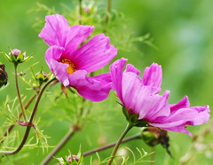 Cosmos Flowers (eric robb niven) Tags: ericrobbniven scotland cosmos flowers nature springwatch cycling