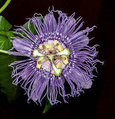 Passiflora Incarnata (ScreaminScott) Tags: passifloraincarta passionflower