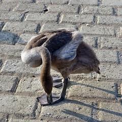 Schwan am Rhein in Wesseling (mama knipst!) Tags: schwan swan wasservogel waterbird vogel bird tier animal natur sommer