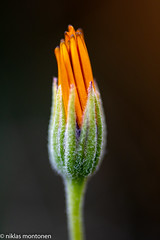@ Garden (aixcracker) Tags: flower blomma kukka garden trädgård puutarha porvoo suomi borgå finland nikond500 macro makro närbild lähikuva summer sommar kesä augusti august elokuu