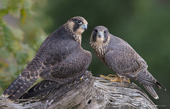 Peregrine Falcon Fledglings (Photosequence) Tags: falco peregrinus falcoperegrinus fastest bird animal falcon raptor shaheen muhammad faizan photography nataviancom natavian