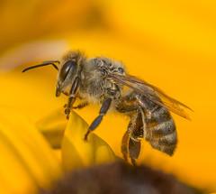 Buz Portrait. (Omygodtom) Tags: existinglight elitebugs bee portrait pov macro tamron90mm dof d7100 flower flickriver explorer insect pond happy augest decay