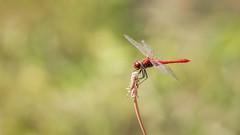 Sympétrum rouge sang (ea_photographie) Tags: nature macro proxy insecte bokeh markiv canon ef100mm vert rouge