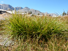 Carex rossii (Matt Lavin) Tags: sierranevada california johnmuirtrail alpine subalpine native perennial bunched sedge cyperaceae meadow carexrossii matforming understory rosssedge twinlakes sawmillpass