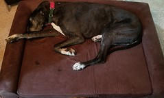 32.52.2018 Aging Rewards (kmmorgan1977) Tags: 52weeksfordogs 52wfd18 52wfd kkzsapachevegasrose greatdane seniordog dogs aging