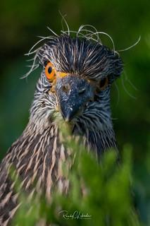 Yellow-crowned Night Heron - Nyctanassa violacea   2018 - 8