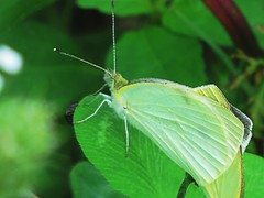 IMG_8155 (kennethkonica) Tags: nature animalplanet animal animaleyes autumn canonpowershot canon usa america midwest indianapolis indiana indy color outdoor wildlife moth wings bug insect leaf green macro summer
