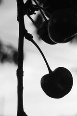 Red (Ren-s) Tags: black white bnw bw nb noir blanc noiretblanc noirblanc blackandwhite blackwhite cerise fruit cherry contrast silhouette summer été new nature plant plante tree arbre france auvergne europe 2018 olympus proxi em10 stem tige shape forme ombre shadow