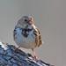 Harris's Sparrow (jmandyjr) Tags: harris sparrow wildlife birding nature